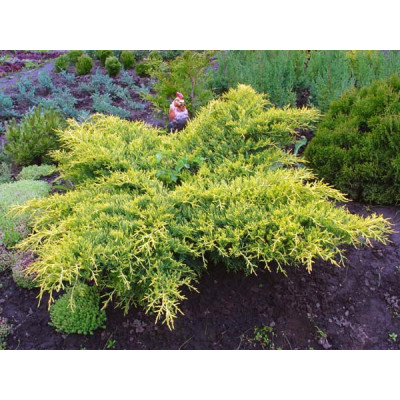 Juniperus Media Gold Star