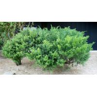 Juniperus Sabina, Savin Juniper