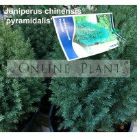 Juniperus Chinensis Pyramidalis