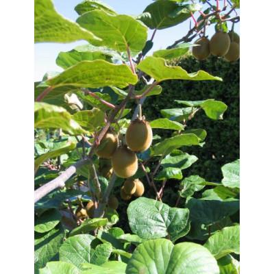 Kiwi Fruit Female