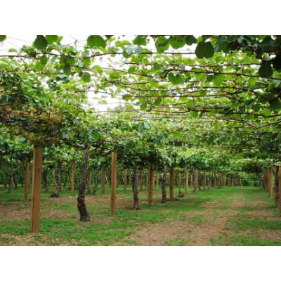 Kiwi Fruit Male