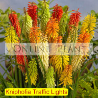 Kniphofia Traffic Lights