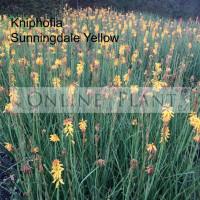 Kniphofia Sunningdale Yellow