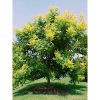 Koelreuteria Paniculata, Golden-rain Tree