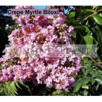 Lagerstroemia Indica Biloxi Crepe Myrtle