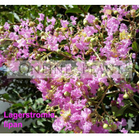 Lagerstroemia Lipan  Lavender Crepe Myrtle