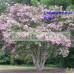 Lagerstroemia Lipan  Lavender Crepe Myrtle