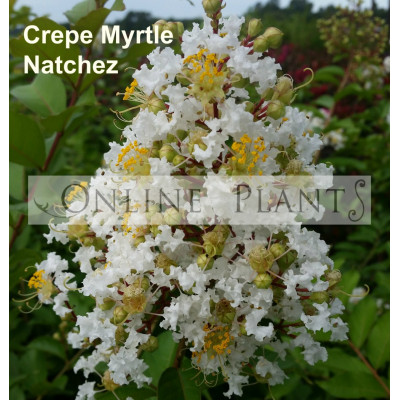 Lagerstroemia Indica Natchez Crepe Myrtle