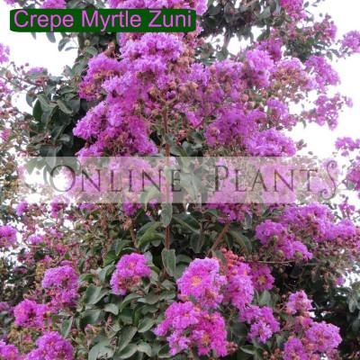 Lagerstroemia Indica Zuni Crepe Myrtle