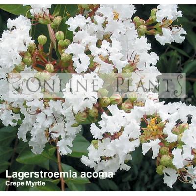 Lagerstroemia Indica Acoma Crepe Myrtle