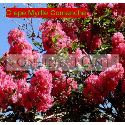 Lagerstroemia Indica Comanche Crepe Myrtle