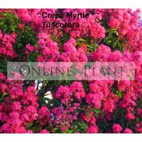 Lagerstroemia Indica Tuscarora Crepe Myrtle