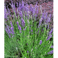 Lavender Augustifolia English Lavender