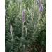 Lavender Dentata French Lavender