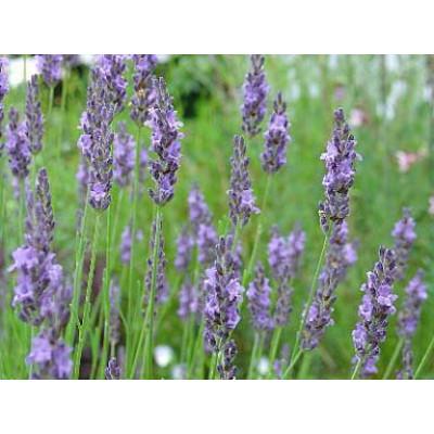 Lavender Grosso