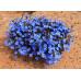 Lechenaultia Biloba Electric Blue