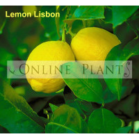 Citrus tree Lemon Lisbon