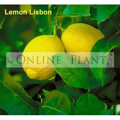Citrus tree Lemon Lisbon