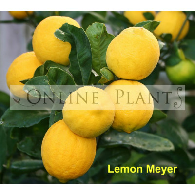 Citrus tree  Meyer Lemon