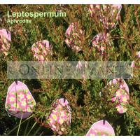 Leptospermum Aphrodite