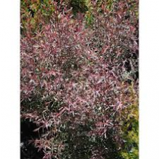 Leptospermum Copper Glow
