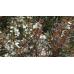 Leptospermum Copper Glow