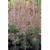 Leptospermum Copper Sheen