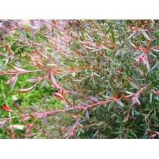 Leptospermum Copper Sheen
