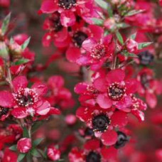 Leptospermum Scoparium Manuka Tea Tree