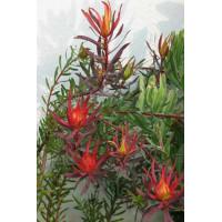 Leucadendron Fireglow