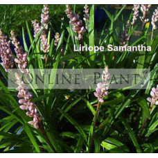 Liriope Samantha