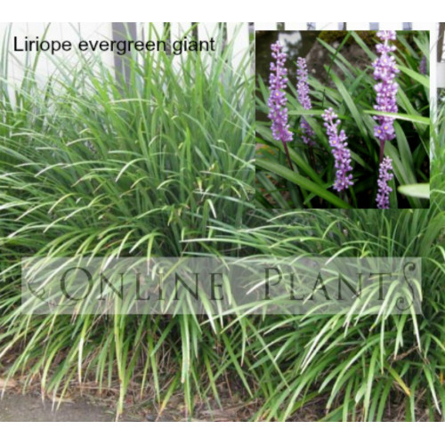 Liriope Evergreen Giant Online Plants Melbourne Australia