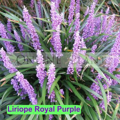 Liriope Royal Purple