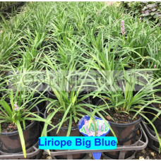 Liriope Big Blue