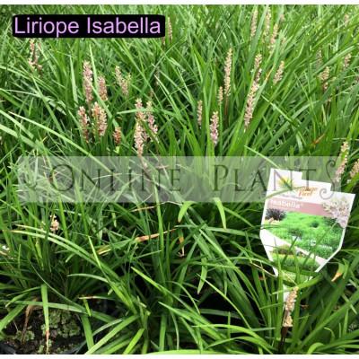 Liriope Isabella