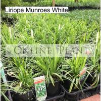 Liriope Munroe White
