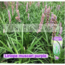 Liriope Muscari Purple