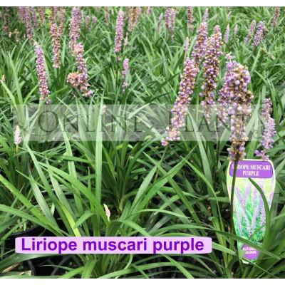 Liriope muscari Purple
