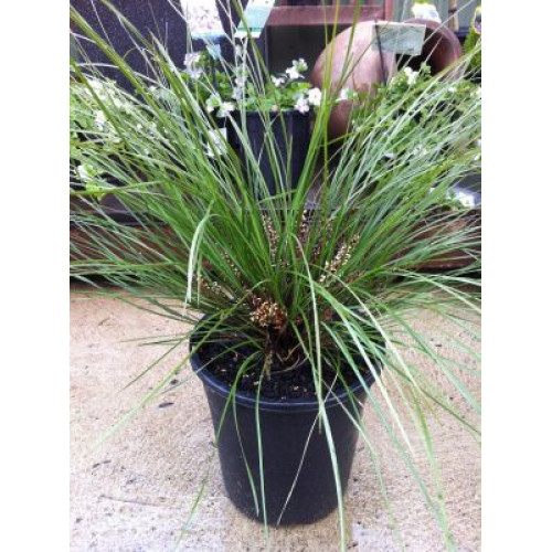 lomandra frosty top for sale  u2013 online plants melbourne  australia