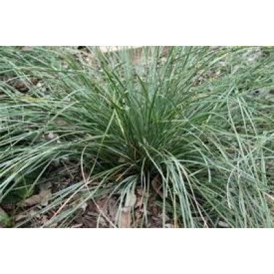 Lomandra Fluviatilis Shara