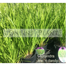Lomandra fine and dandy