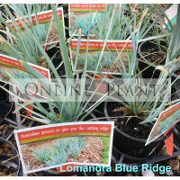 Lomandra Blue Ridge
