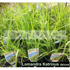 Lomandra Katrinus Deluxe