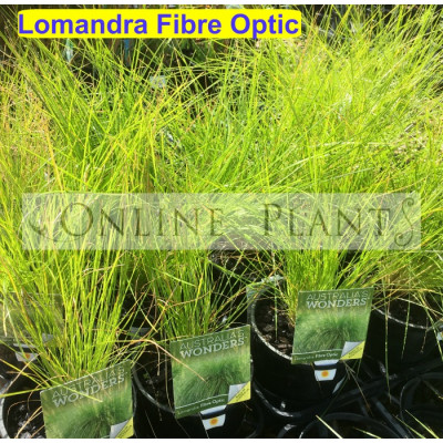 Lomandra Fibre Optic