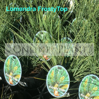 Lomandra Frosty Top