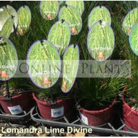 Lomandra Lime Divine