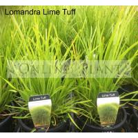 Lomandra Lime Tuff