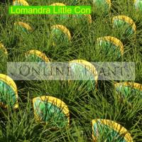 Lomandra Little Con