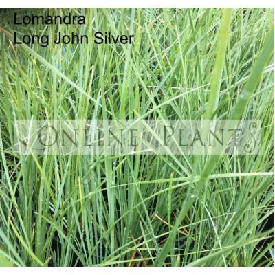 Lomandra Long John Silver
