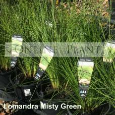 Lomandra Misty Green